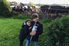 Retour de la traite des vaches
