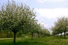 Les pommiers à Cidre de la région
