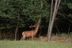 Un Cerf aperçu au loin