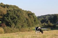 Une vache aux abords de La Cabane Sauvage
